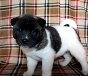 males and females Akita Puppy for Sale