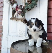 babies Australian Shepherd Puppies for Sale